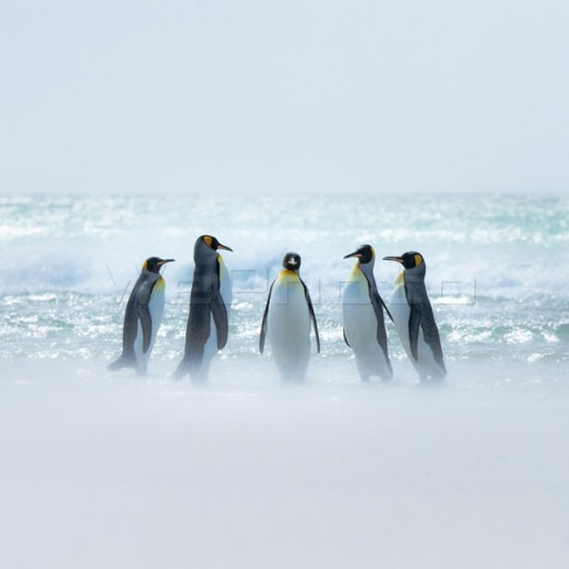 King penguin(985)